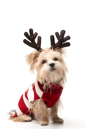 Morkie breed dog with Christmas antlers Stock Photo - Premium Royalty-Free, Code: 618-06618012