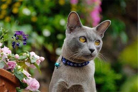 domestic - gray male cat Stock Photo - Premium Royalty-Free, Code: 618-06618409