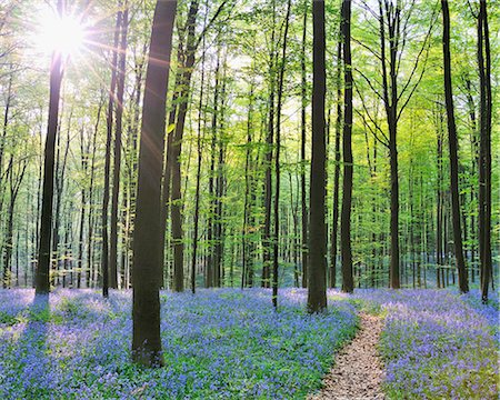 Path through Bluebells Forest Stock Photo - Premium Royalty-Free, Code: 618-07073047