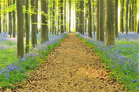 Path through Bluebells Forest Stock Photo - Premium Royalty-Free, Code: 618-07073056