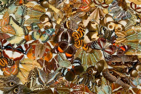 Assorted butterflies, full frame Stock Photo - Premium Royalty-Free, Code: 618-07370378
