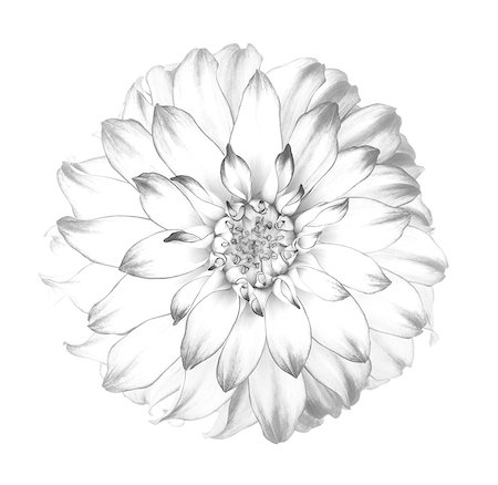 stamen - Graphic representation of dahlia in black & white. Stock Photo - Premium Royalty-Free, Code: 618-07458146