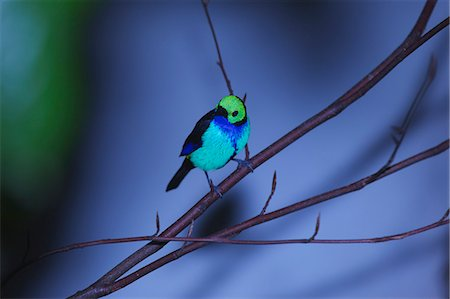 Paradise Tanager Stock Photo - Premium Royalty-Free, Code: 618-07458359