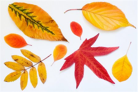 The various warm colours of autumn leaves. Stock Photo - Premium Royalty-Free, Code: 618-07524100