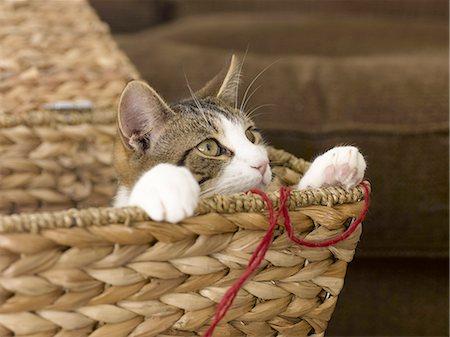Cat Playing Stock Photo - Premium Royalty-Free, Code: 618-07595982