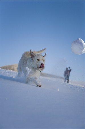 dog lick - Dog running though snow chasing snowball Stock Photo - Premium Royalty-Free, Code: 618-07612323