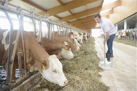 patterned - Farmer with cattle in barn Stock Photo - Premium Royalty-Free, Code: 618-07612414