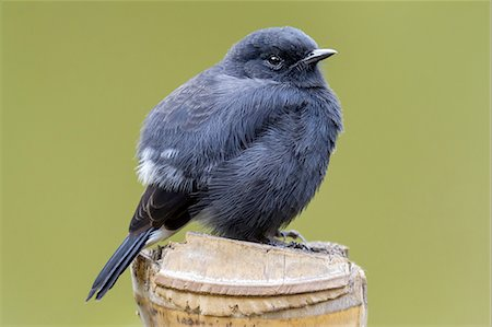 Pied Bushchat (Saxicola caprata) Stock Photo - Premium Royalty-Free, Code: 618-07673610