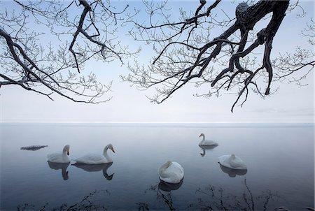 five animals - Whooper Swans on lake Stock Photo - Premium Royalty-Free, Code: 618-08063235