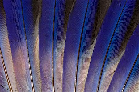 feather  close-up - Wing feathers of Roufus crowned Roller Stock Photo - Premium Royalty-Free, Code: 618-08063632