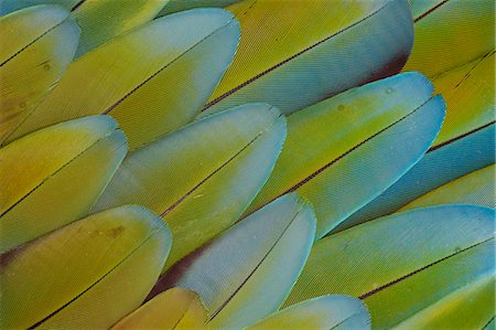 feather  close-up - Feather Pattern Design Greenwinged Macaw Stock Photo - Premium Royalty-Free, Code: 618-08063646