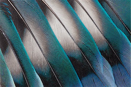 feather  close-up - Lovebird Tail Feather Design Stock Photo - Premium Royalty-Free, Code: 618-08063656