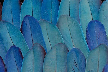 pattern - Blue Wing feathers of Blue & Gold Macaw Stock Photo - Premium Royalty-Free, Code: 618-08063673