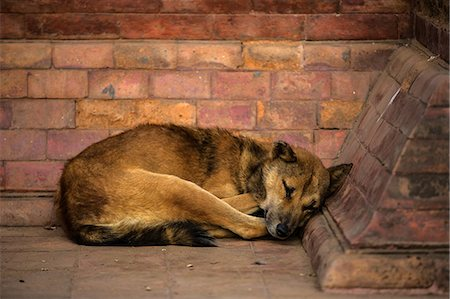 Dog in Bhaktapur Nepal Stock Photo - Premium Royalty-Free, Code: 618-08174019