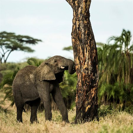serengeti national park - Young elephant scratching on a tree Stock Photo - Premium Royalty-Free, Code: 618-08184521