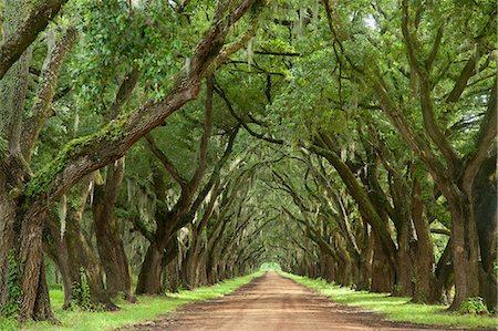 Oak tree lined dirt road Stock Photo - Premium Royalty-Free, Code: 618-08388887