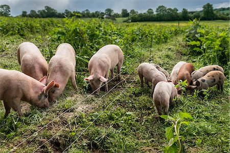 Organic pigs and piglets eating on small holding Stock Photo - Premium Royalty-Free, Code: 618-08389386