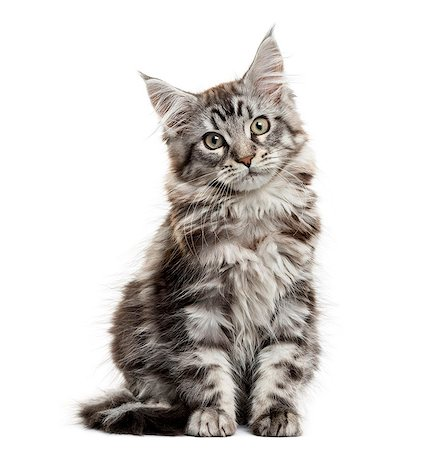 pictures cats - Maine coon kitten in front of white background Stock Photo - Premium Royalty-Free, Code: 618-08509749
