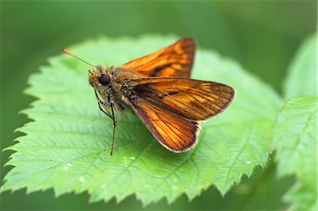large skipper ochlodes sylvanus Stock Photo - Premium Royalty-Free, Code: 618-08509979