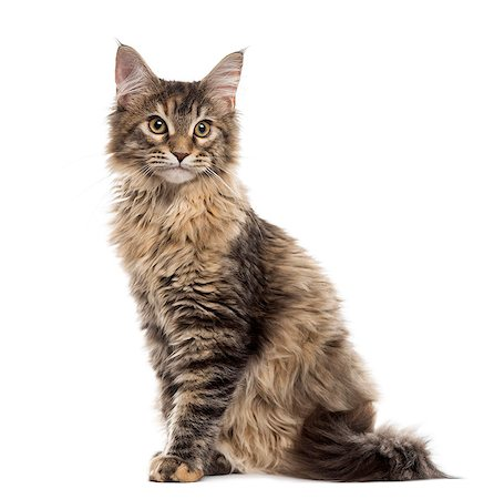 Maine Coon kitten sitting, isolated on white Stock Photo - Premium Royalty-Free, Code: 618-08546276