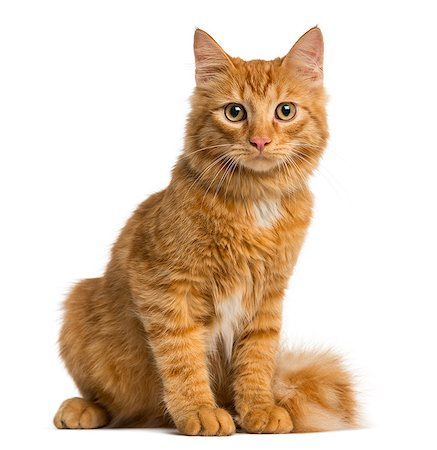 Maine Coon kitten isolated on white Stock Photo - Premium Royalty-Free, Code: 618-08546277
