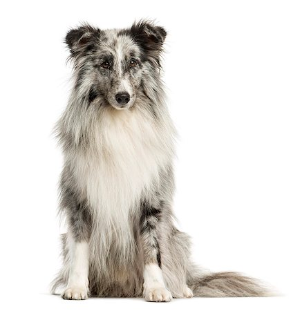 sheltie - Shetland Sheepdog isolated on white Stock Photo - Premium Royalty-Free, Code: 618-08546298