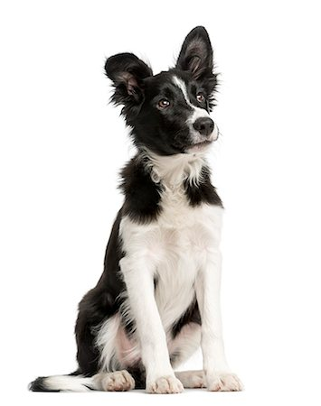Border Collie puppy isolated on white Stock Photo - Premium Royalty-Free, Code: 618-08546292