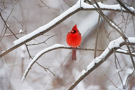 Male northern cardinal in winter Stock Photo - Premium Royalty-Free, Code: 618-08637702