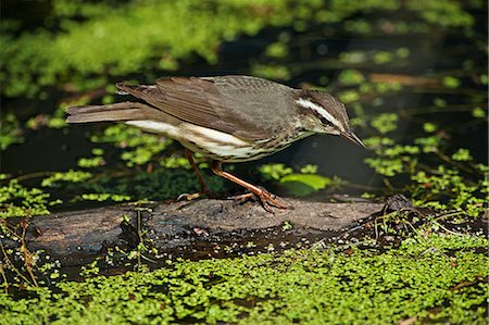 Foraging Louisiana waterthrush on spring pond Stock Photo - Premium Royalty-Free, Code: 618-08687338