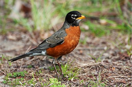 Male american robin in spring Stock Photo - Premium Royalty-Free, Code: 618-08687339