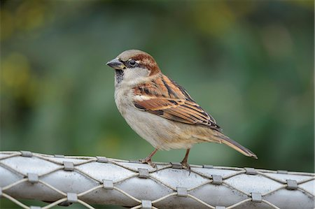 House Sparrow, Passer domesticus Stock Photo - Premium Royalty-Free, Code: 618-08738936