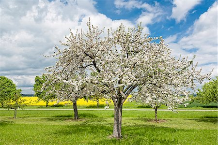 spring - Blossoming Apple trees Stock Photo - Premium Royalty-Free, Code: 618-08749042