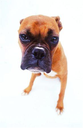 close-up of a bulldog puppy Stock Photo - Premium Royalty-Free, Code: 618-00464829