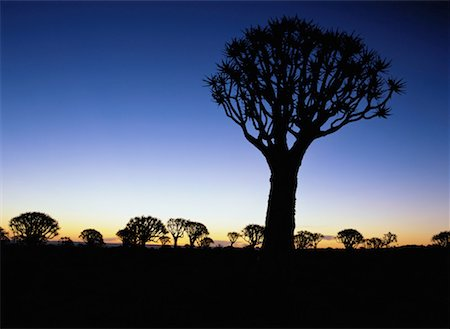 Quiver Tree at Dusk Stock Photo - Premium Royalty-Free, Code: 618-01411283