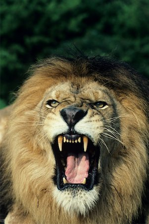 roar lion head picture - Black-maned male African lion roaring, headshot, Africa Stock Photo - Premium Royalty-Free, Code: 618-01438285