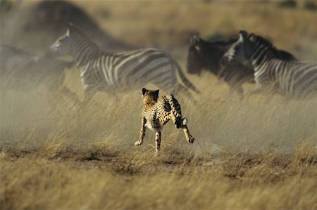 Cheetah stampeding with zebras and wildebeests Stock Photo - Premium Royalty-Free, Code: 618-01438356