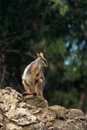 Yellow-footed rock wallaby (Petrogale xanthopus), Australia Stock Photo - Premium Royalty-Free, Code: 618-01438446