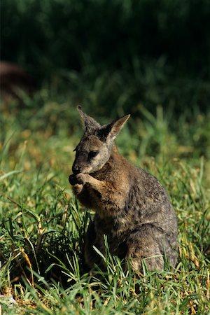 Tammar wallaby (Macropus eugenii) sitting in grass, Australia Stock Photo - Premium Royalty-Free, Code: 618-01438461