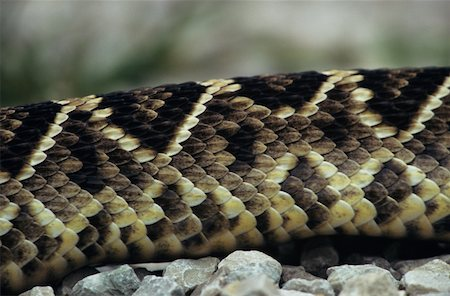 snake skin - Eastern diamondback rattlesnake (Croatalus adamanteus), close-up of body, Kentucky Stock Photo - Premium Royalty-Free, Code: 618-01438795