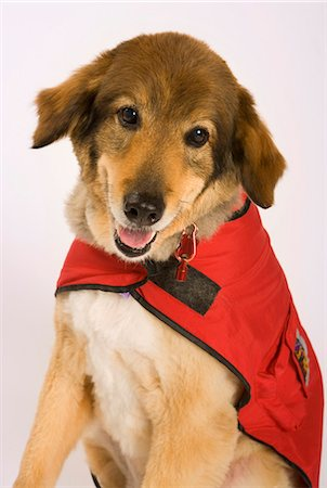 dependable - Mutt in a rescue jacket. Stock Photo - Premium Royalty-Free, Code: 618-03571961