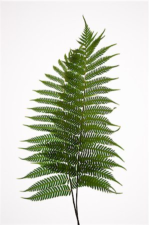 Green leaves Stock Photo - Premium Royalty-Free, Code: 618-03573489