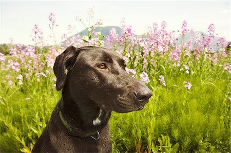 Black dog in field Stock Photo - Premium Royalty-Free, Code: 618-03608169