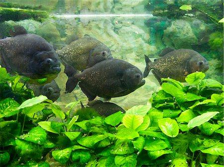 piranha fish - Piranha in aquarium Stock Photo - Premium Royalty-Free, Code: 618-03608762
