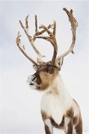reindeer in snow - A portrait of a reindeer Stock Photo - Premium Royalty-Free, Code: 618-03612598