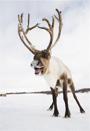 reindeer in snow - A reindeer standing in the snow Stock Photo - Premium Royalty-Free, Code: 618-03612600