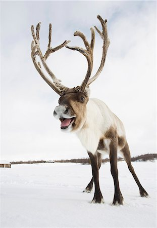 reindeer in snow - A reindeer standing in the snow Stock Photo - Premium Royalty-Free, Code: 618-03612600