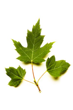 stem - Young Sycamore leaves Stock Photo - Premium Royalty-Free, Code: 618-03756974