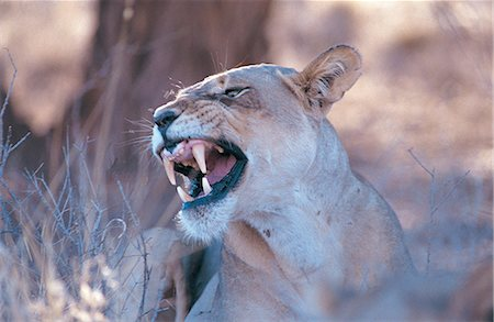 roar lion head picture - Female lion (Panthera Leo) snarling Stock Photo - Premium Royalty-Free, Code: 618-03757970