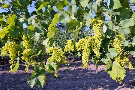 Rows of white grapes Stock Photo - Premium Royalty-Free, Code: 618-03906496