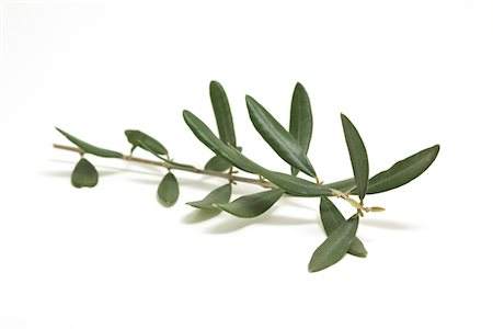 olive branch Stock Photo - Premium Royalty-Free, Code: 618-03906618